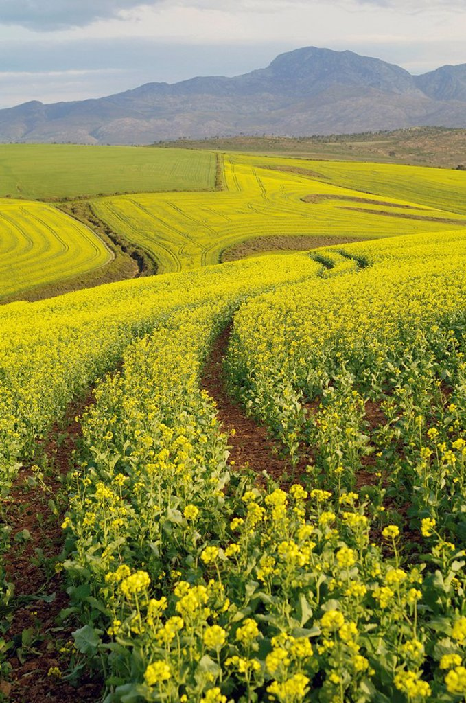 Fields of canola turn landscape yellow, Cape Town, Western Cape Province, South Africa : Stock Photo