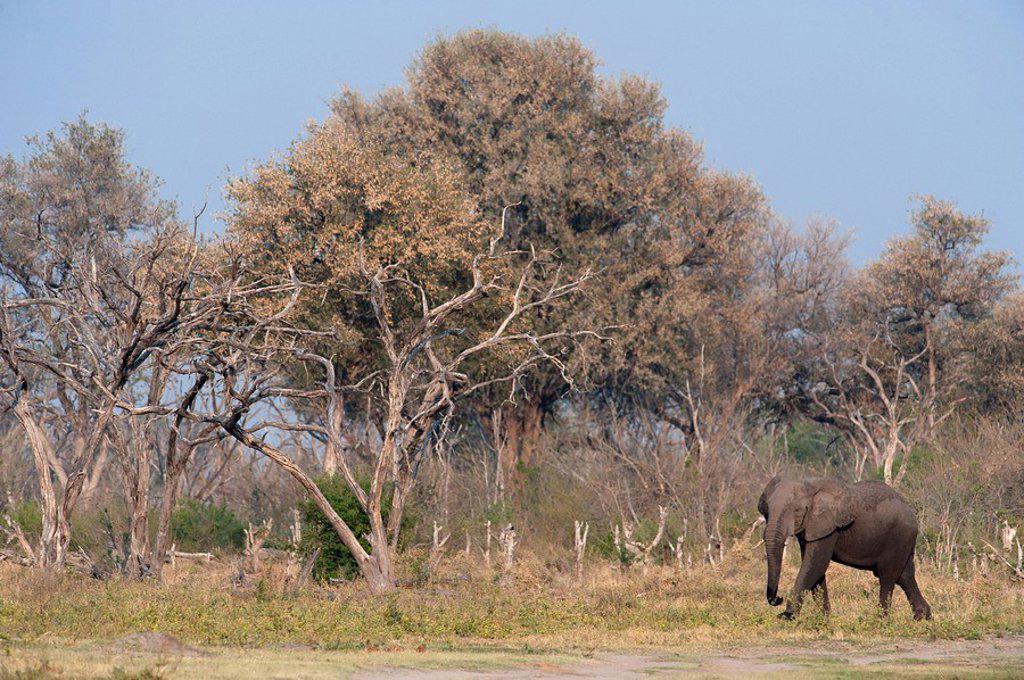 Elephants grazing on the banks of the Kwai River, Kwai, Botswana : Stock Photo
