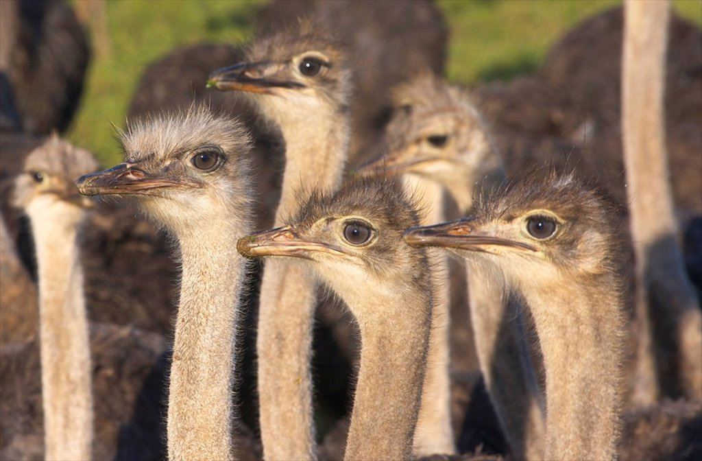 Close _Up of inquisitive Common Ostriches Struthio camelus, Overberg Region, Western Cape Province, South Africa : Stock Photo