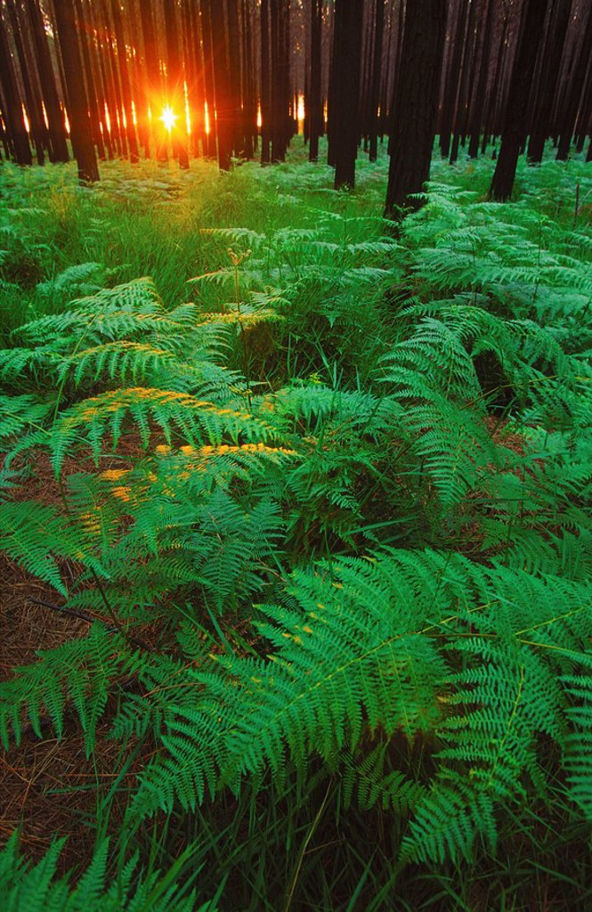 Fern leaves covering the ground, Tsitsikamma, South Africa : Stock Photo