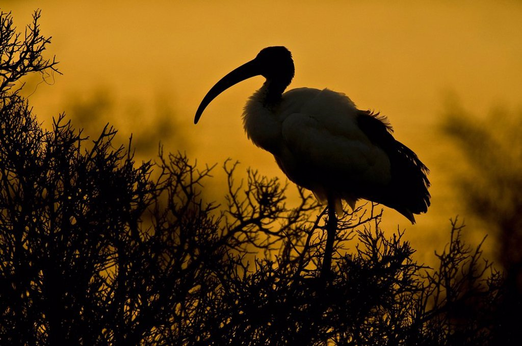 African Sacred Ibis Threskiornis aethiopicus at dusk. De Hoop Nature Reserve, Western Cape Province, South Africa : Stock Photo
