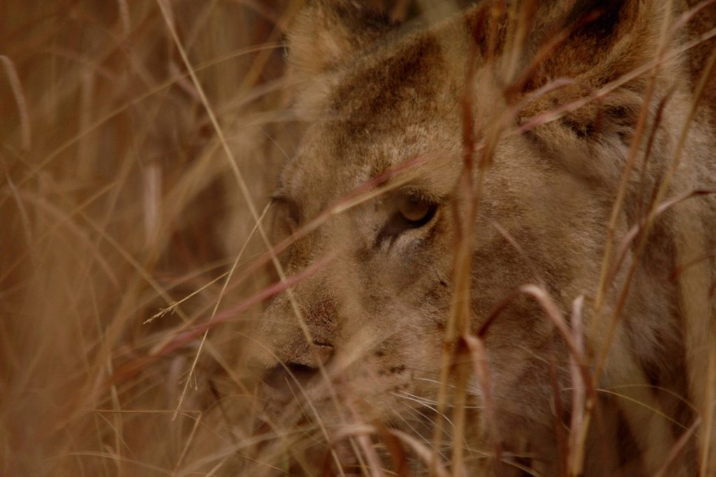 Lioness Panthera leo in grass, Pilanesberg Game Reserve, North West Province, South Africa : Stock Photo