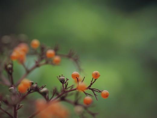 Chinese elder, sambucus chinensis : Stock Photo