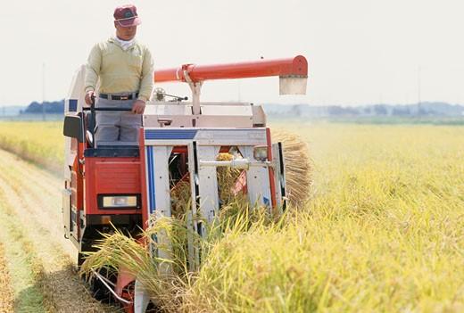 Farmer harvesting rice : Stock Photo