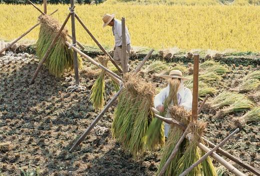 Farmers hanging rice crop : Stock Photo