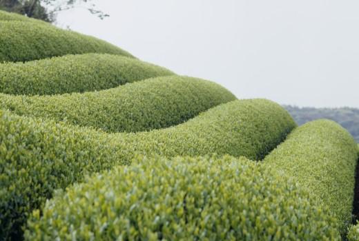 Stock Photo: 1897R-11122 Tea field