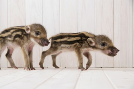 Stock Photo: 1897R-27004 Two baby boars walking