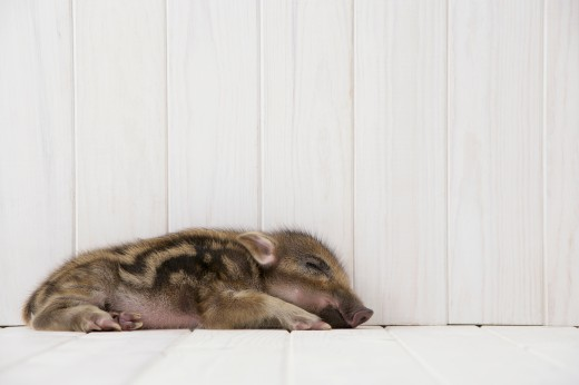 Baby boar sleeping : Stock Photo
