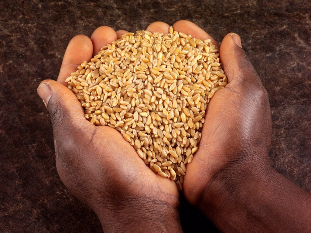 Man Holding Wheat Kernels : Stock Photo