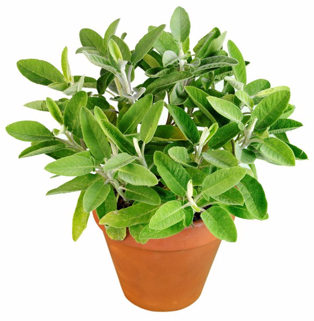 Stock Photo: 1898-15268 Sage Plant Cut Out