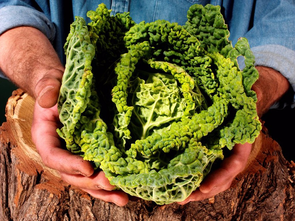 Farmer Man Holding Savoy Cabbage : Stock Photo