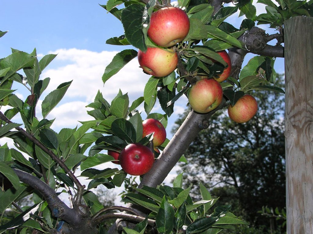 apples growing : Stock Photo