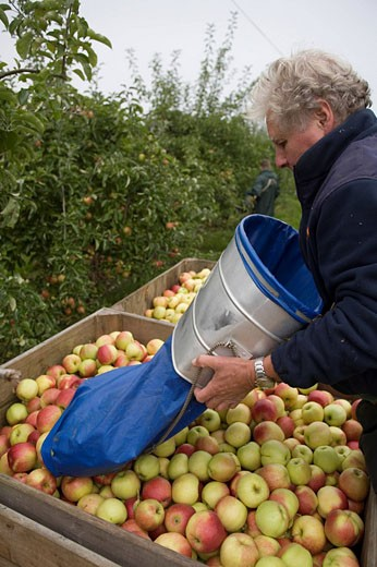 West Bradley Orchard : Stock Photo