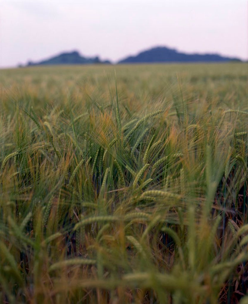 Stock Photo: 1898-26332 Field of barley