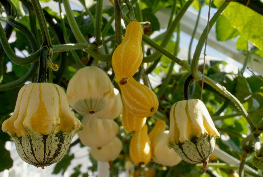 Squash growing in greenhouse : Stock Photo