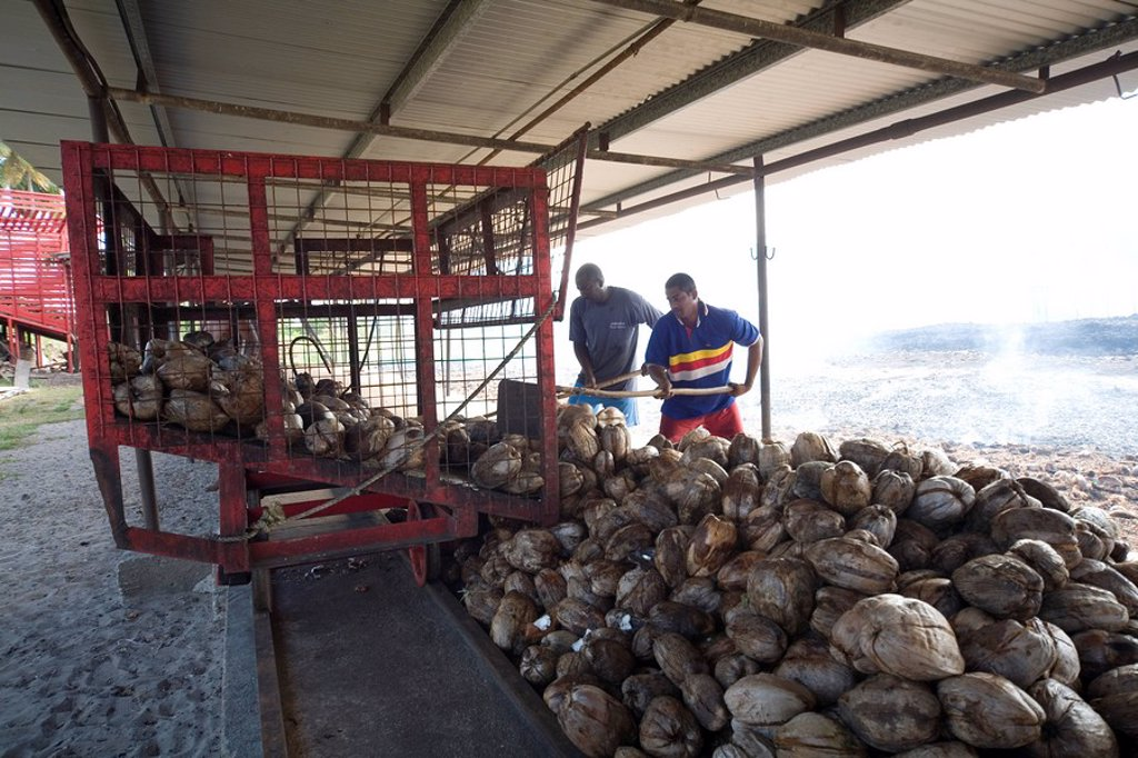 Sorting Coconuts, South Trinidad : Stock Photo