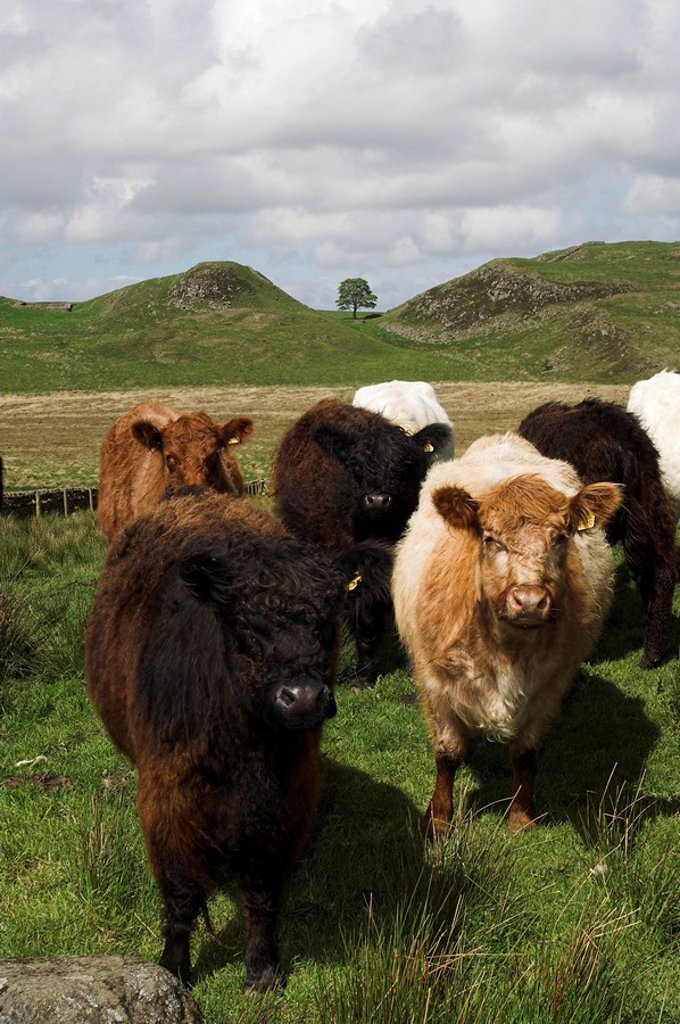 Galloway type cattle near Steel Rigg , Northumberland on Hadrians Wall : Stock Photo