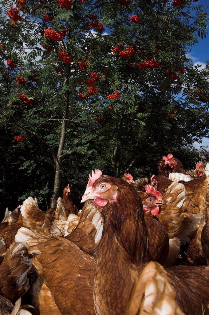 Stock Photo: 1898-41586 Free Range hens feeding in woodland