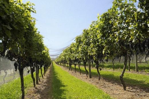 Vineyard Waiheke Island Auckland North Island New Zealand : Stock Photo