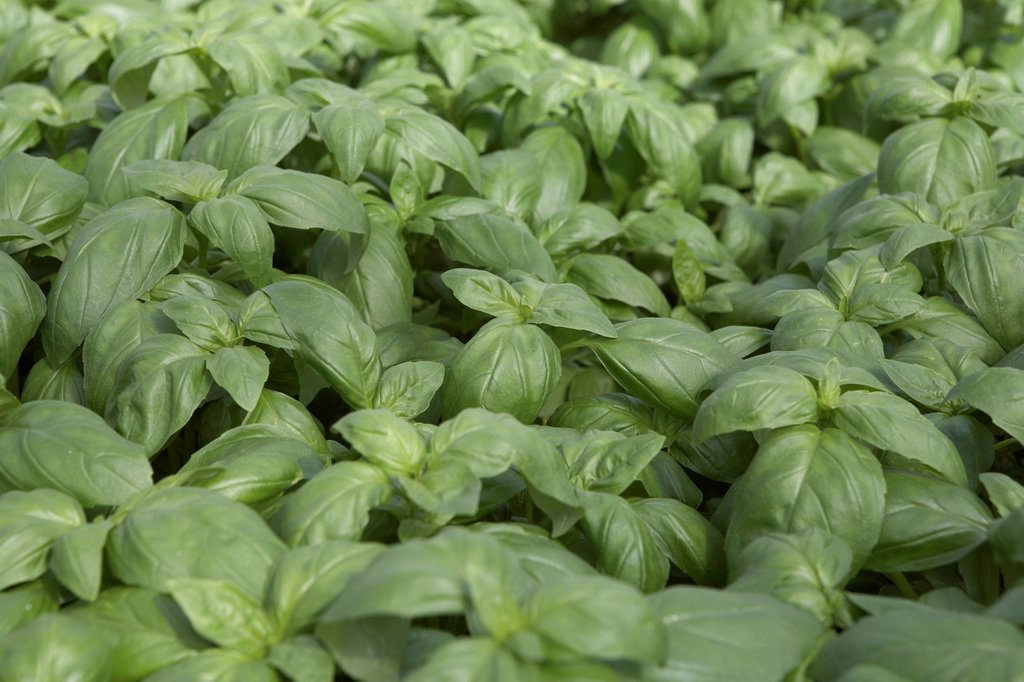 Basil growing : Stock Photo