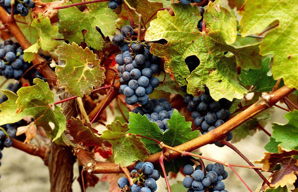 Grapes, Napa Valley, California, North America : Stock Photo