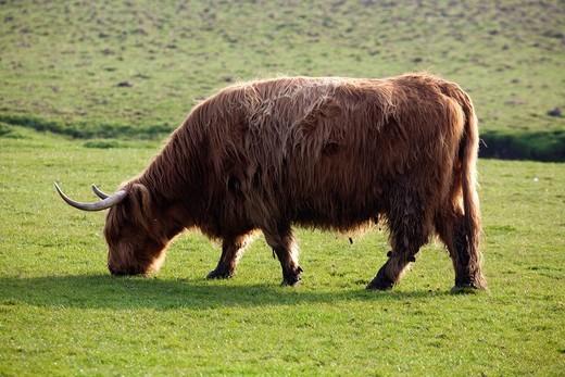 Highland Cattle : Stock Photo