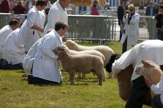 Devon County Show 2009, Judging sheep, : Stock Photo