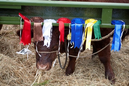 Prize winner Honiton show devon red calf : Stock Photo