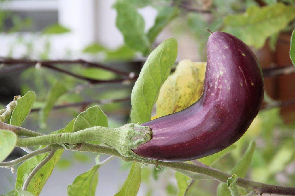 Eggplant aubergine growing on plant : Stock Photo
