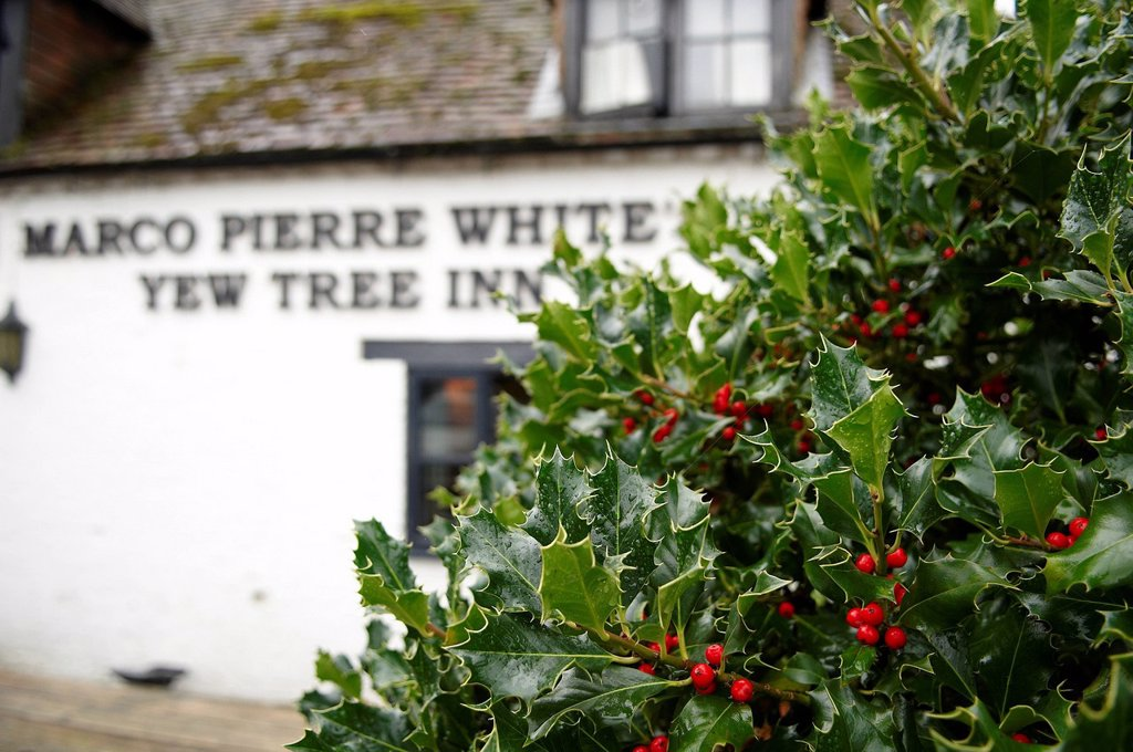 Stock Photo: 1898-52287 Holly bush in front of Marco Pierre White´s Yew Tree Inn