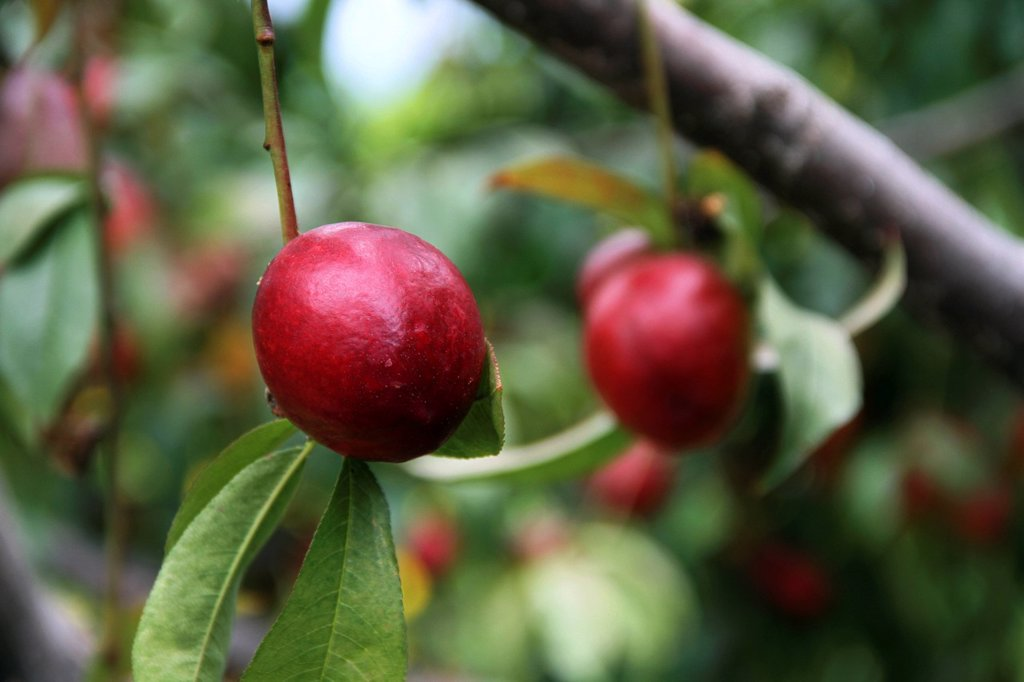 Nectarine fruit growing on a tree : Stock Photo