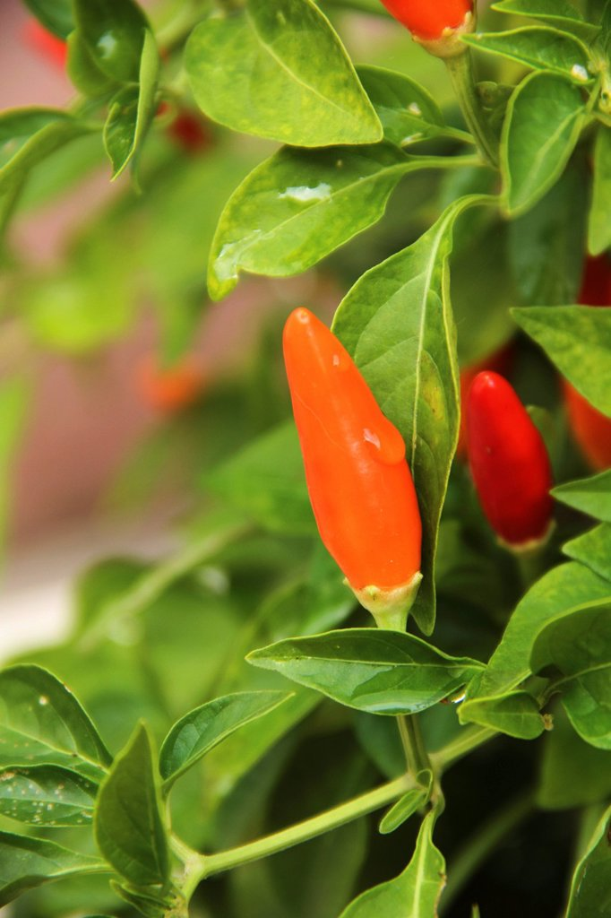 Stock Photo: 1898-53285 Chilli growing