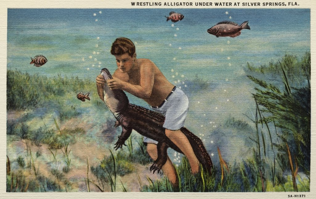 Stock Photo: 1899-10768 Wrestling an Alligator Underwater. ca. 1935, Silver Springs, Florida, USA, WRESTLING ALLIGATOR UNDER WATER AT SILVER SPRINGS, FLA. FLORIDA'S INTERNATIONAL ATTRACTION, SEE SILVER SPRINGS, 'Nature's Underwater Fairyland'. Largest flowing springsi n the world, over 750 million gallons daily. Electric driven glass bottom boats. Greatest depth 80 feet. Temperature of water 72 degrees winter and summer. Shown from sunrise to sunset, in all weather, every day in the year.