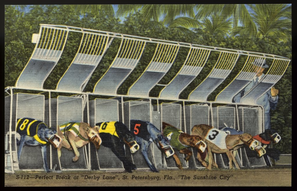 Start of a Greyhound Dog Race. ca. 1949, Saint Petersburg, Florida, USA, Release of starting gate sends group of greyhound stars away to a perfect start in one of the feature races at 'Derby Lane,' home of historic St. Petersburg Kennel Club. Recognized as the world's oldest greyhound track, it is one of the major sports attractions in the Sunshine City.  : Stock Photo