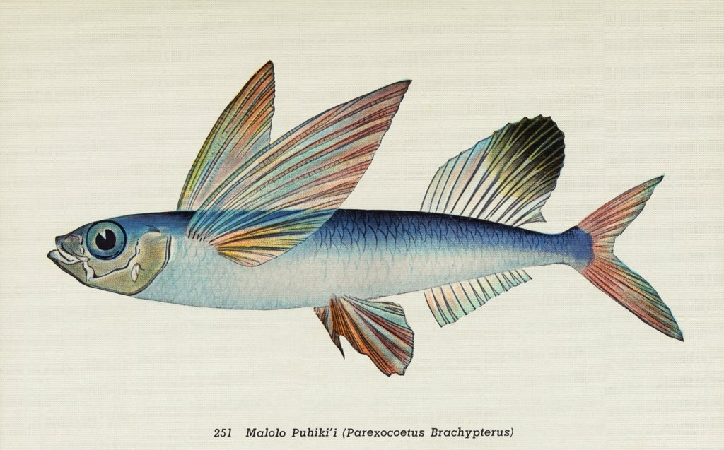 Stock Photo: 1899-11499 Postcard of Parexocoetus Brachypterus Fish. ca. 1914, 251. Malolo Puhiki'i (Parexocoetus Brachypterus). FISHES OF HAWAII. The Aquarium at Waikiki, Honolulu, claims the rarest and most beautiful fish in the world. They are odd in shape having all the hues of the rainbow with the tints laid on as if with the brush. No painter can imitate them nor language do them justice. Words are inadequate to accurately portray these exquisite colors and weird shapes.