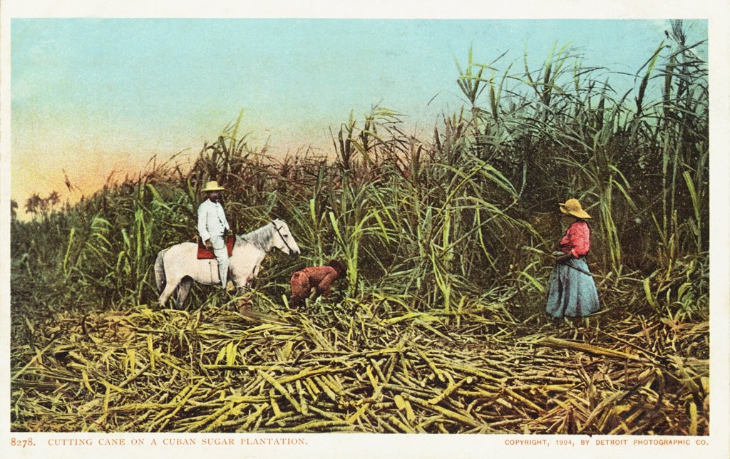Stock Photo: 1899-12062 Cutting Cane on a Cuban Sugar Plantation Postcard. 1904, Cutting Cane on a Cuban Sugar Plantation Postcard