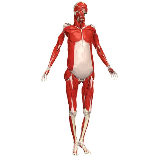 Muscular system : Stock Photo