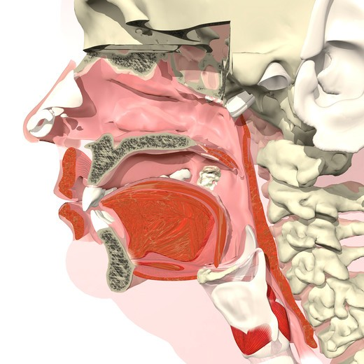 Sagittal section of the mouth, nose and throat I : Stock Photo