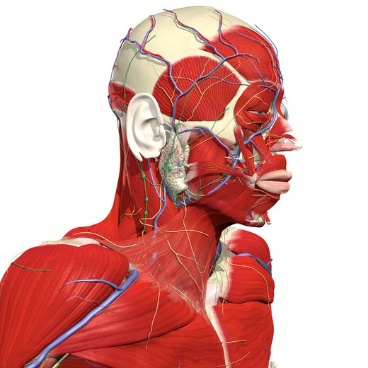 Muscles and vessels of the head and neck : Stock Photo