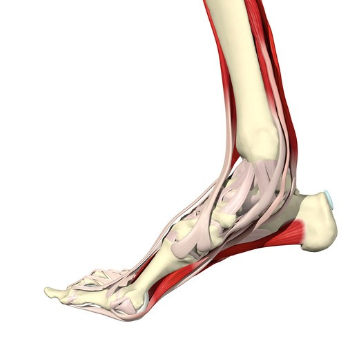 Muscles of the foot and ankle Medial view : Stock Photo