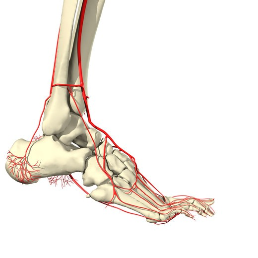 Arteries and bones of the ankle Lateral view : Stock Photo