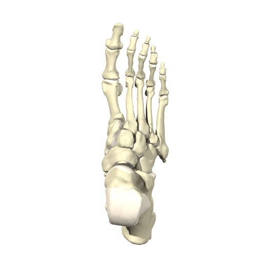 Bones of the foot and ankle Superior view : Stock Photo