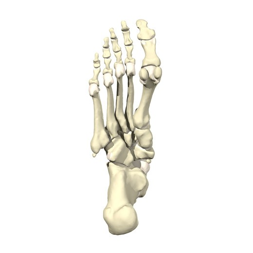 Bones of the foot and ankle Inferior view : Stock Photo