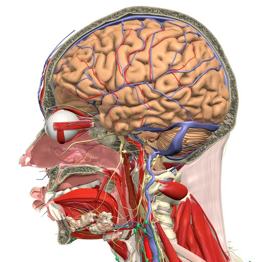 Sagittal dissection of the head and neck III : Stock Photo