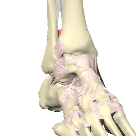 Ligaments of the ankle Anterior view : Stock Photo