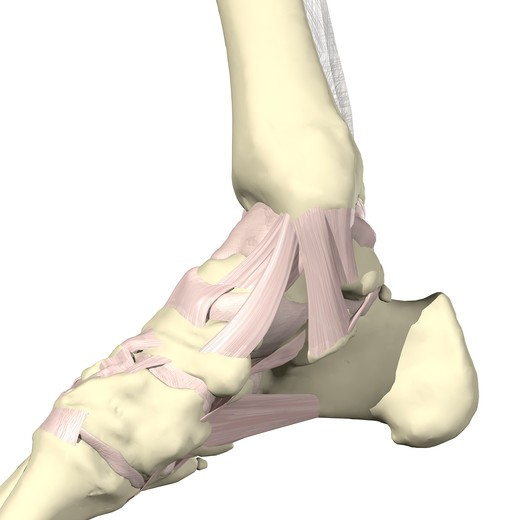 Ligaments of the ankle Medial view : Stock Photo
