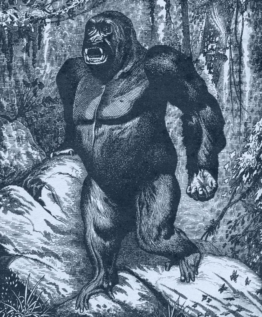 Gorilla. From Los Animales del Universo: Su vida y sus costumbres, published cerca 1921 : Stock Photo