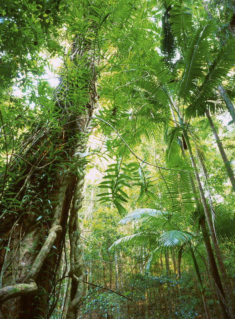 Stock Photo: 1899-21058 Lush subtropical rainforest of Piccabeen Palm beside Woongoolbver Creek, Fraser Island World Heritage Area, Queensland, Australia, Australia. Fraser Island supports dense vegetation and recycles its own dead matter for nutrients.