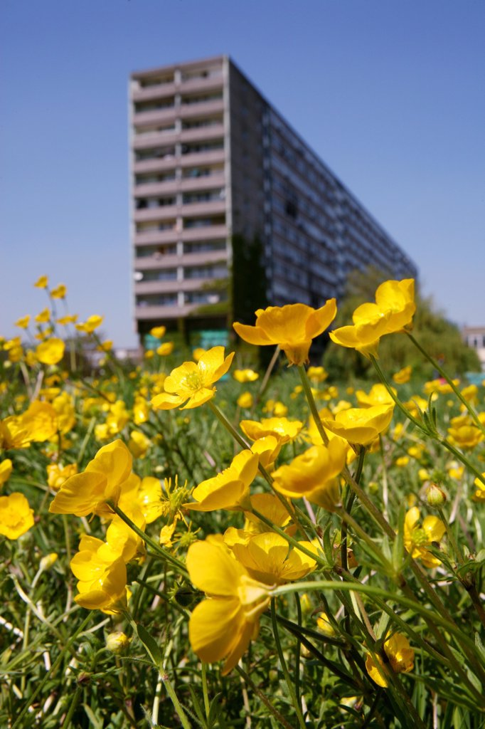 Buttercups, Ranunculus sp. in front of high rise flats, United Kingdom.  : Stock Photo