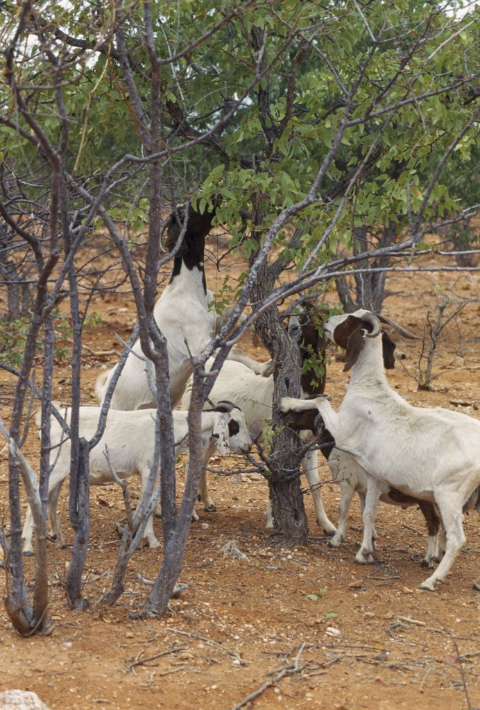 NAMIBIA Farming. Goats causing deforestation by eating young trees on the edge of the desert..  : Stock Photo